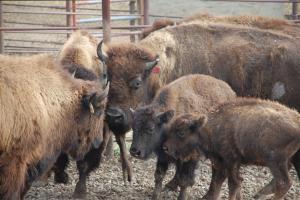 Bison Bluff Farm